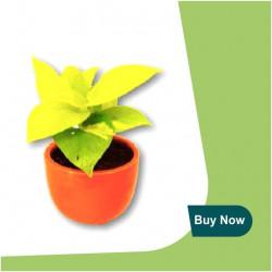 GOLDEN MONEY PLANT