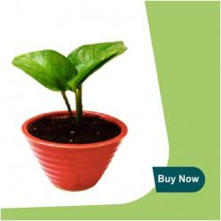 GREEN MONEY PLANT