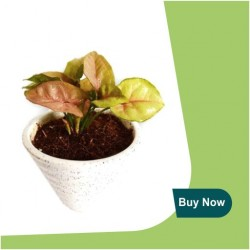 PINK SYNGONIUM PLANT