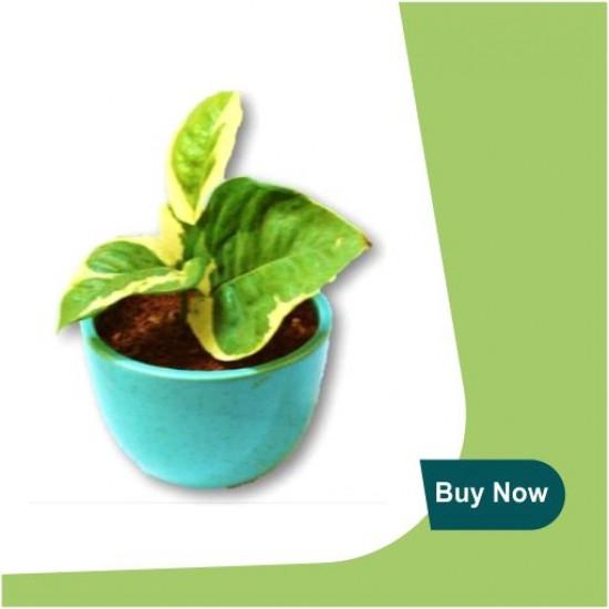 WHITE MONEY PLANT