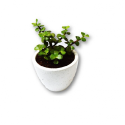 BUTTON JADE PLANT