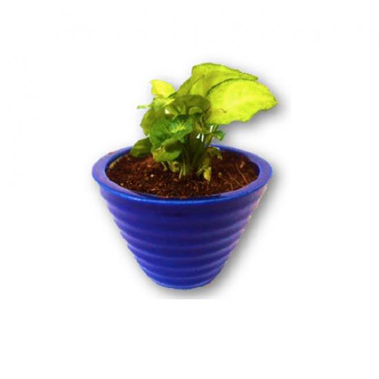 DWARF SYNGONIUM PLANT